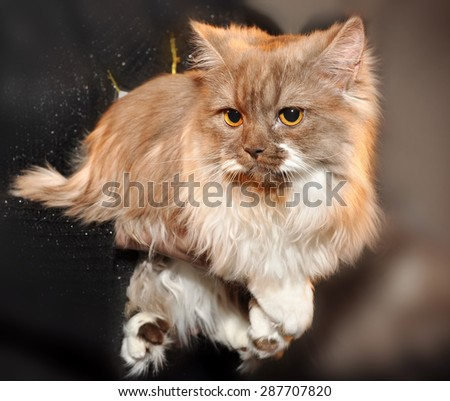 Bicolor ragdoll cat looking into the camera in exhibition - stock photo