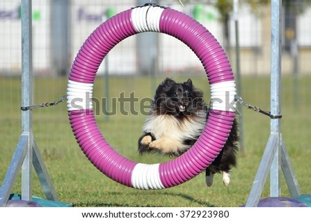 Bicolor Shetland Sheepdog (Sheltie) Jumping Through a Tire at Dog Agility Trial - stock photo