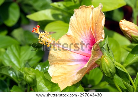 Bicolor white and pink Hibiscus blooming(Hibiscus rosa-sinensis) - stock photo