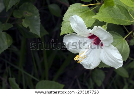 Bicolor white and red Hibiscus blooming(Hibiscus rosa-sinensis) - stock photo