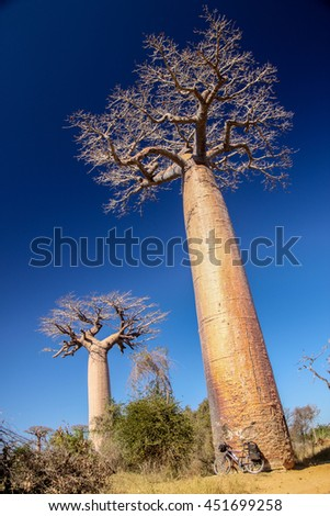 Bicycle parked under the huge baobab in the famous Avenida de Baobab near Morondava in Madagascar - stock photo
