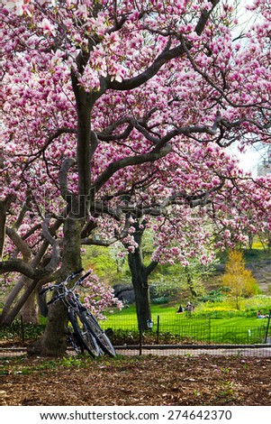 Bicycles leaning under a blooming tree in springtime - Central Park, New York City - stock photo