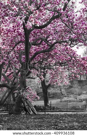 Bicycles under a pink cherry blossom tree in black and white Central Park landscape, New York City  - stock photo