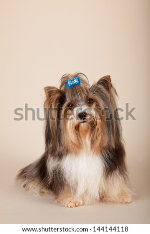 Biewer Terrier on beige background