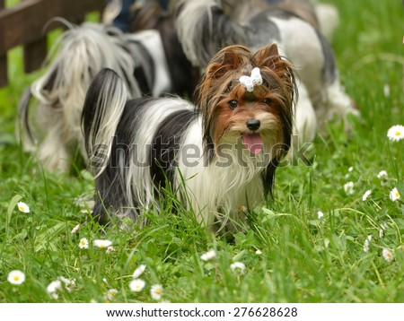 Biewer-Yorkshire terrier - stock photo