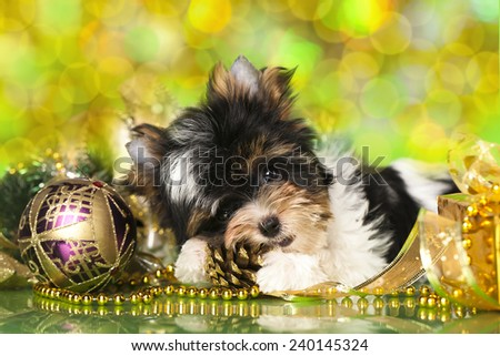 biewer Yorkshire terrier and Christmas ball - stock photo