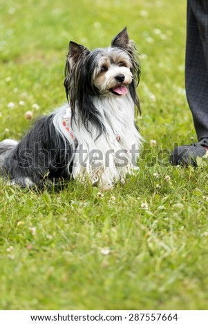 Biewer Yorkshire Terrier is sitting beside the feet of his master outdoors. - stock photo