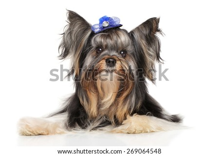 Biewer Yorkshire terrier posing on a white background - stock photo