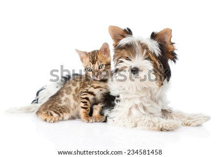 Biewer-Yorkshire terrier puppy and bengal kitten sitting together. isolated on white background - stock photo