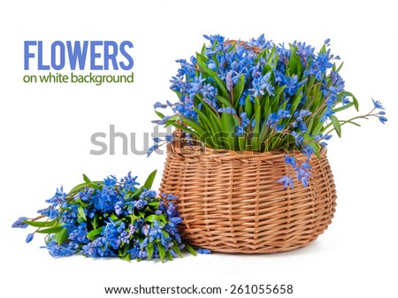 bifolia in basket isolated on a white background - stock photo