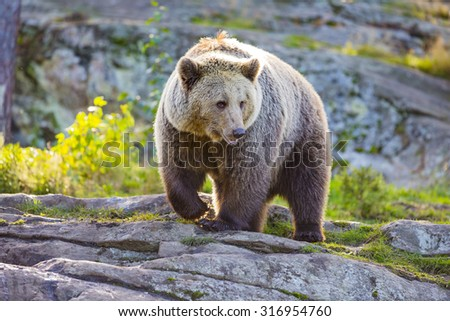 Big adult brown bear in the sunset - stock photo
