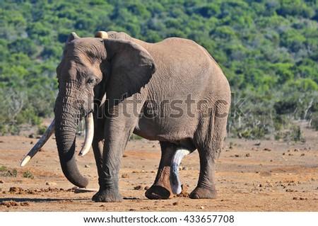 Big African Elephant - stock photo