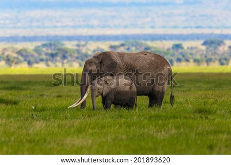 Big African Elephant mother with calf eating grass in Amboseli National Park, Kenya - stock photo