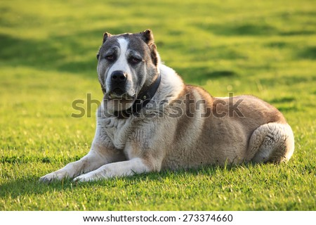 big alabai dog rest in green spring meadows  - stock photo