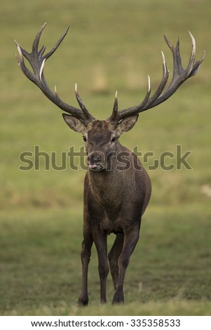 Big and beautiful red deer in the nature habitat in Czech Republic