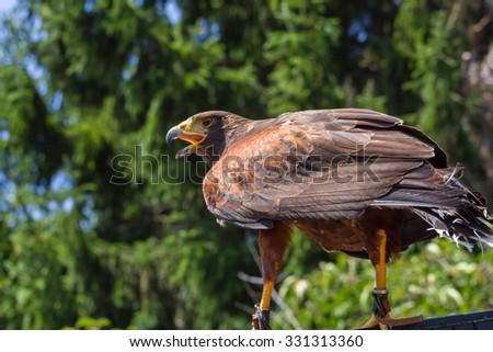 Big and powerful bird of prey hawk - stock photo