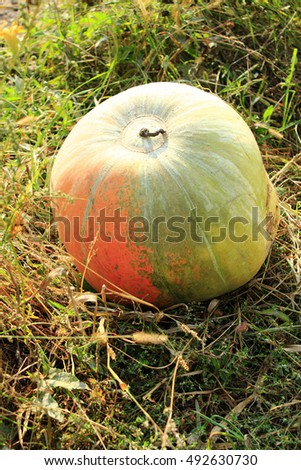 big and round pumpkin grown in the kitchen garden