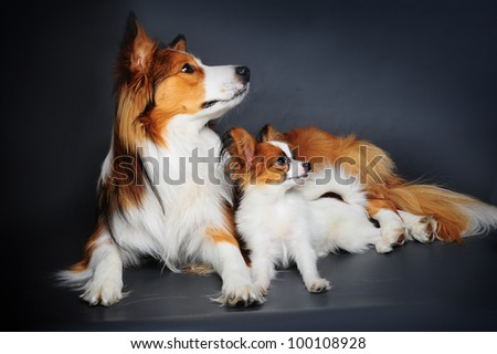 big and small (border collie and papilion puppy - stock photo