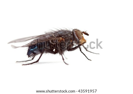 Big annoying fly on a white background