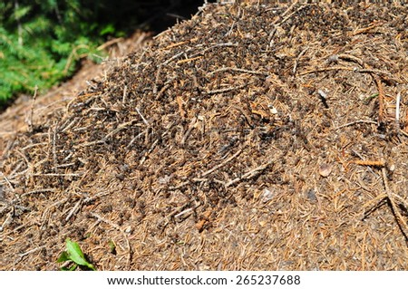 Big anthill with colony of ants in summer forest - stock photo