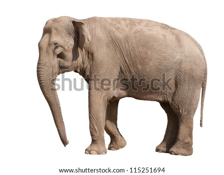 Big Asian elephant isolated on white background - stock photo