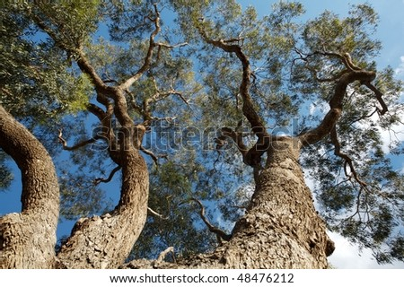 Big Australian gum tree blue sky on background - stock photo