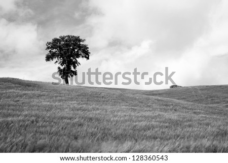 Big autumn oak and green grass on a meadow around in spain horizontal format in black and white
