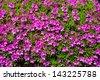 big azalea tree with the abundant blooms in the spring garden 7 - stock photo