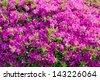 big azalea tree with the abundant blooms in the spring garden 11 - stock photo