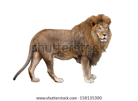 Big beautiful African lion on a white background. - stock photo
