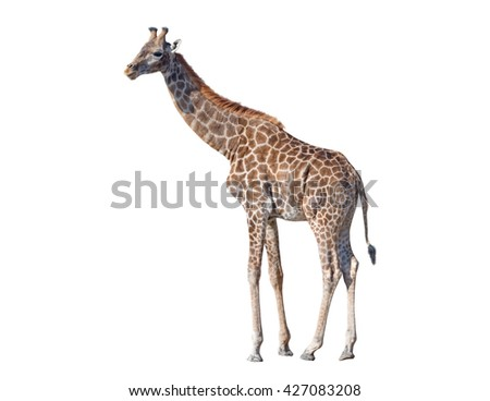 big beautiful Giraffe isolated on white background