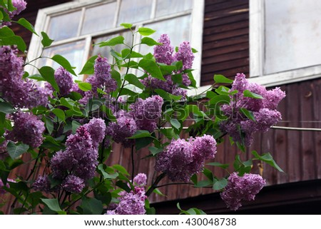 big beautiful good branch of purple lilac flower with green leaves closeup in the background of wooden country house - stock photo
