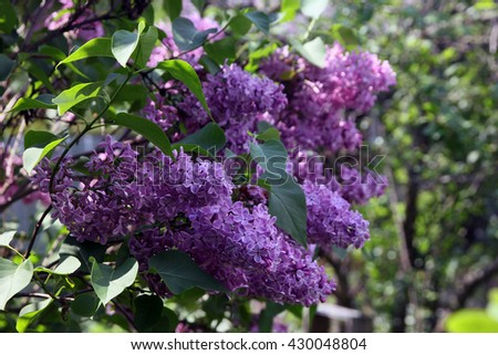 big beautiful good branch of purple lilac flower with green leaves closeup outside in sunny summer day - stock photo