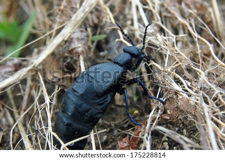 Big beautiful oil beetle