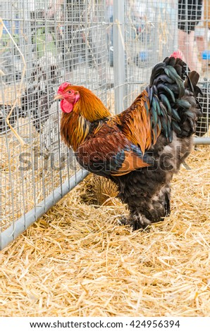 Big beautiful purebred rooster on a farm - stock photo