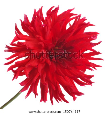 big beautiful red dahlia flower isolated on white background
