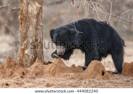 Big beautiful sloth bear male hunt termites/wild animal in the nature habitat/India - stock photo