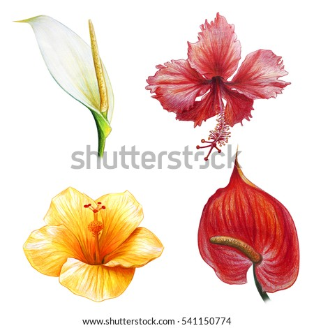 anthurium stock images, royaltyfree images  vectors  shutterstock, Natural flower