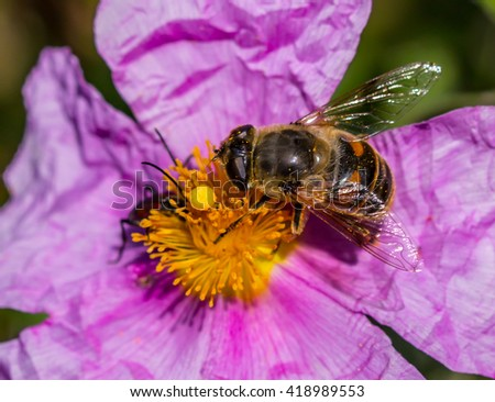 big bee on flower