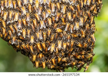 Big bee worker holding together for beehive - stock photo