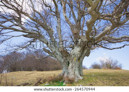 Big beech tree in the Canfaito woods (Marche - Italy.). - stock photo