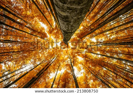 big beech trees in autumnal wood - stock photo