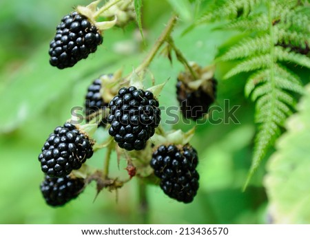 big berries of blackberry on green background - stock photo
