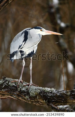 Big bird Grey Heron sitting on the tree with snow flake and wind - stock photo