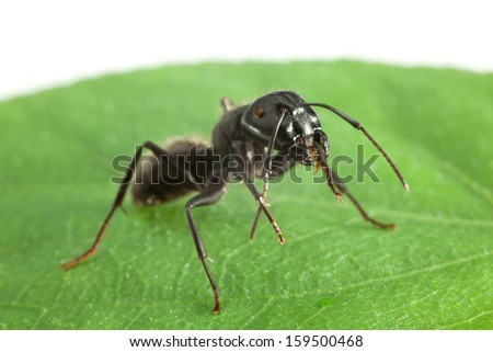 Big black ant cleaning antennae on green leaf, isolated on white