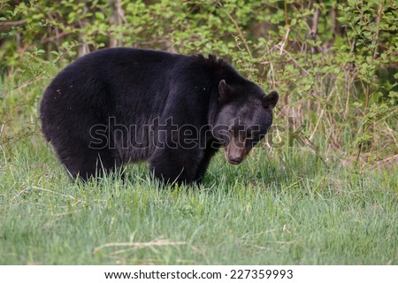 Big black bear from Canada