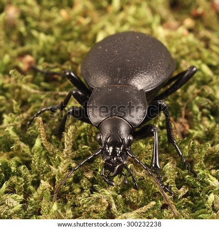Big black beetle (Carabus coriaceus) on the moss.