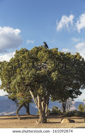 Big black crow bird on the tree in Grand Canyon National Park from South Rim - stock photo