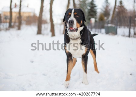 big black dog swiss mountain dog on snow