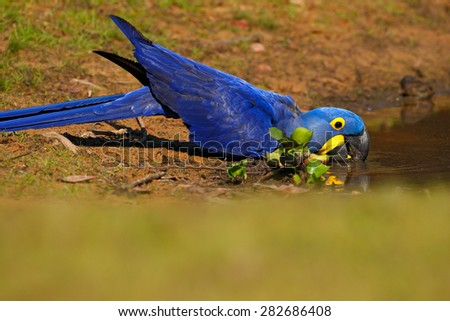 Big blue parrot Hyacinth Macaw, Anodorhynchus hyacinthinus, drinking water at the river Rio Negro, Pantanal, Brazil, South America - stock photo